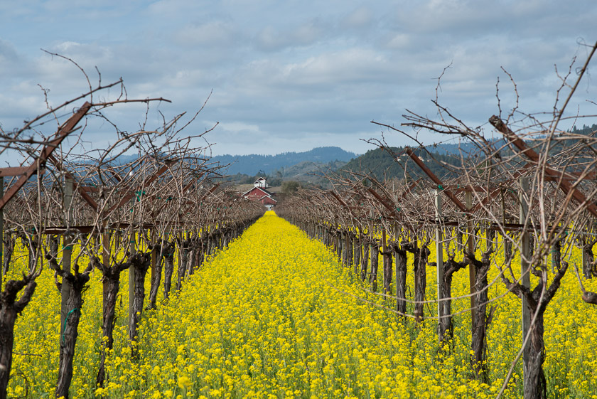 Napa Valley, Mustard Among the Vines