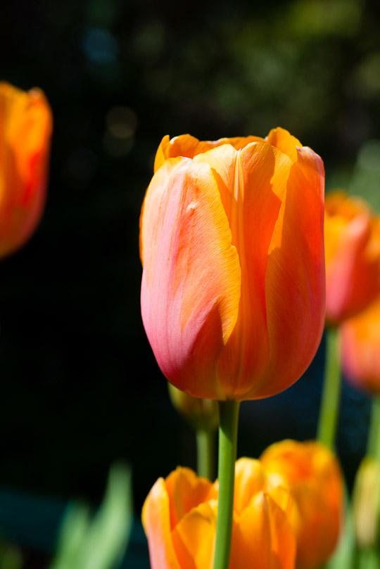 Red Orange Tulip