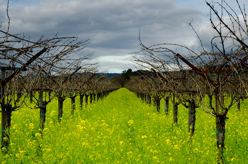 Mustard Among the Vineyards, Ruftherford