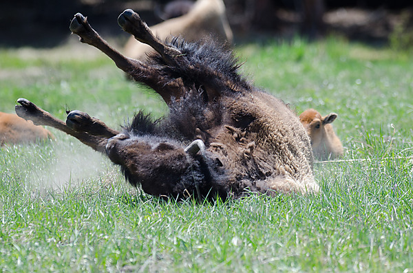 Buffalo Rolling in Grass