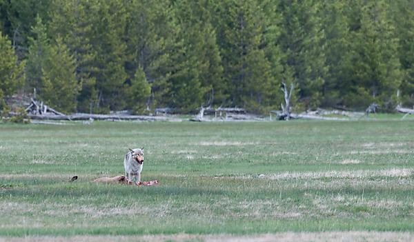 Wolf Feeding on Elk Carcass