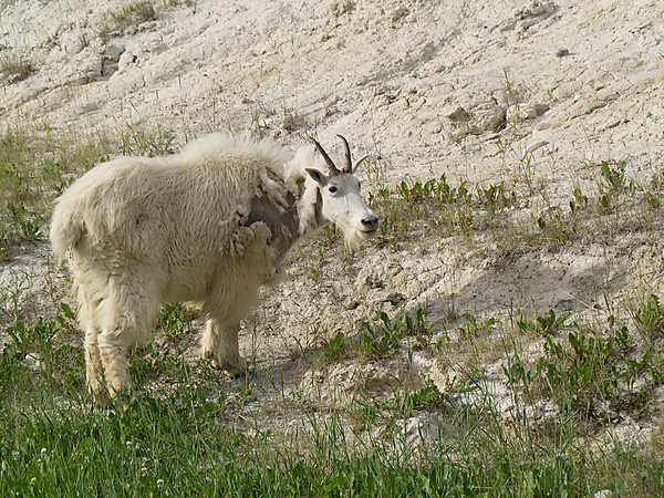 Mountain Goat, along Ice Fields Parkway