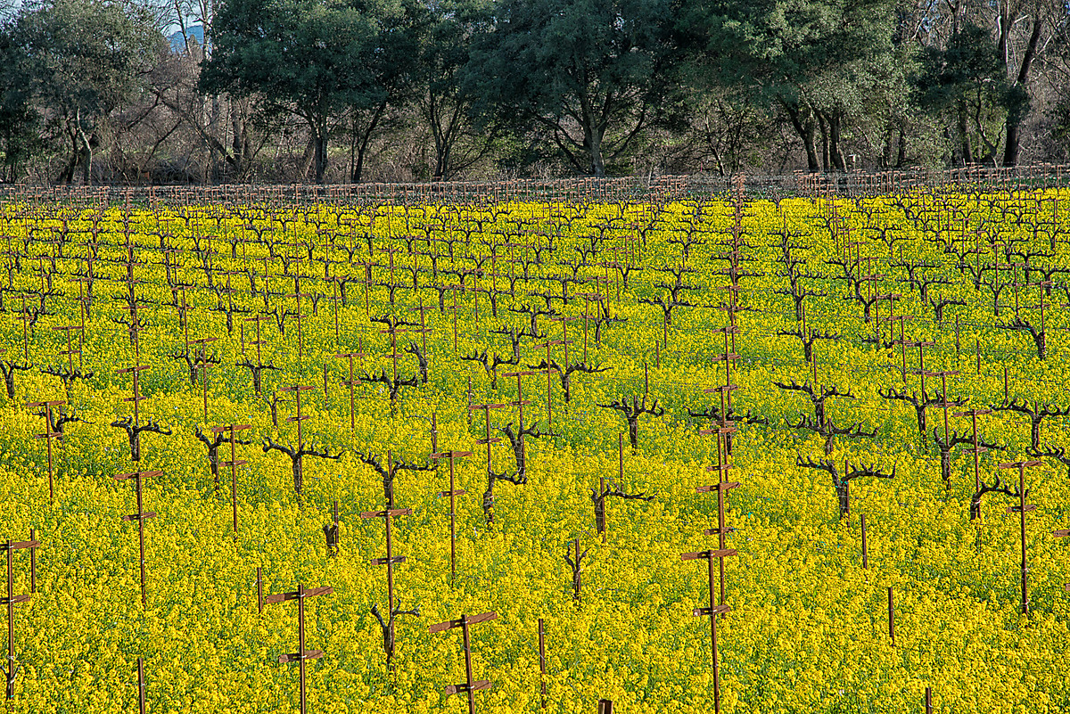 Silverado Trail, Vineyard with Mustard