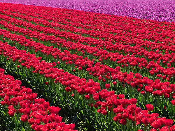 Red and Purple Tulip Rows