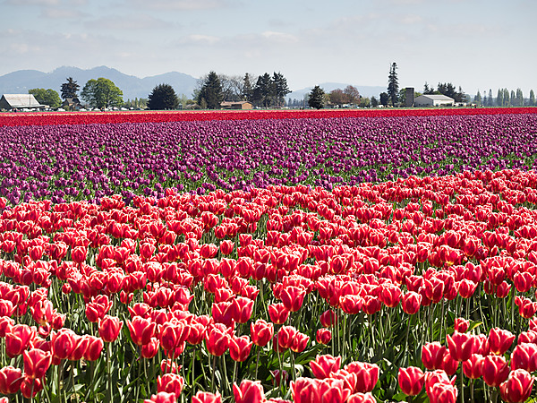 Red and Purple Tulip Fields