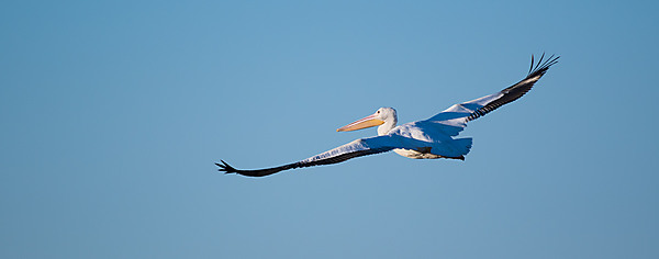 American Pelican In-Flight