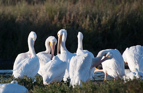 Group of American Pelicans