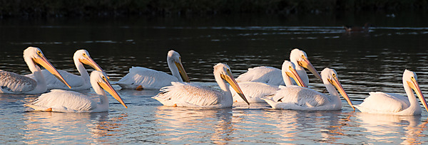 Group of American Pelicans Floating