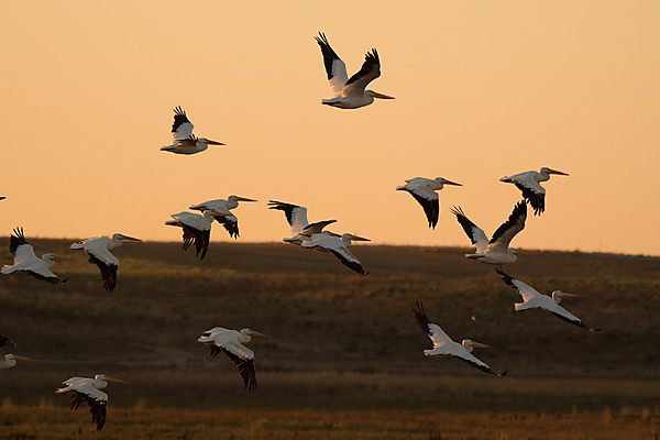 Group of American Pelicans In-Flgiht at Sunset