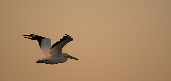 American Pelican In-Flight at Sunset