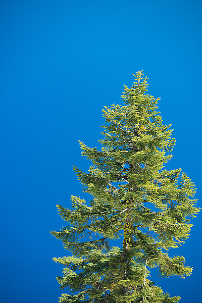 Pine Tree Front of Crater Lake