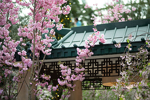 Cherry Blossoms, Flower Dome