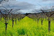 Mustard among the Vineyards, Napa Valley